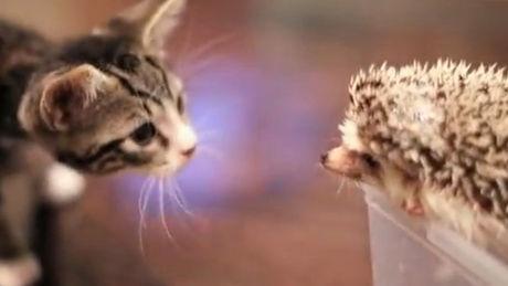 Eine süße Begegnung zwischen einem Kätzchen und einem Igel.