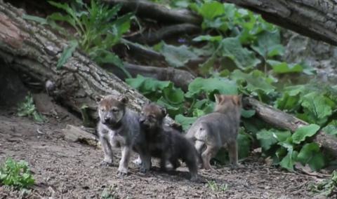 Junge Wolfswelpen verlassen zum ersten Mal ihren Bau...