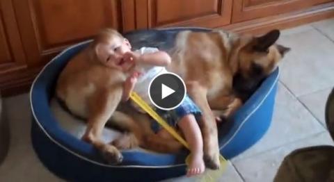 Das hier ist der sanfteste Hund der Welt. Sehen Sie nur, wie er mit dem Kind spielt!