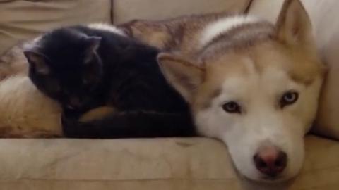 Kuscheliges Kätzchen und Husky beim Mittagsschlaf.