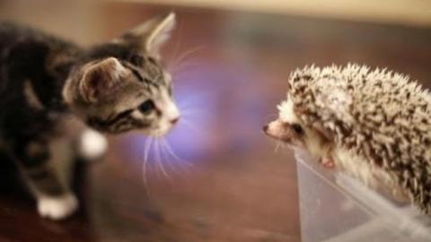 Erste Begegnung zwischen einem Kätzchen und einem Igel.