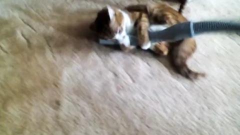 Diese Katze attackiert einen eingeschalteten Staubsauger!