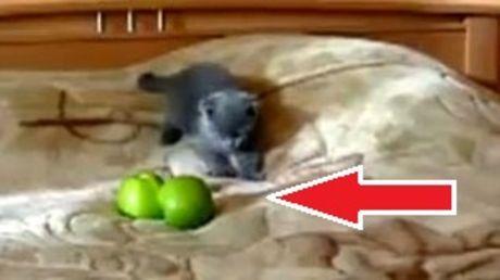 Diese kleine Katze mag keine Äpfel und sie macht dies deutlich.