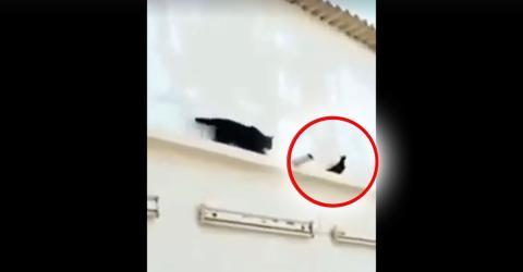 Eine Katze wird von einer Taube lächerlich gemacht