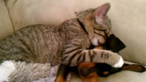 Eine Katze kümmert sich um einen kranken Welpen, der gerade vom Tierarzt kommt. Zum Anbeißen süß!