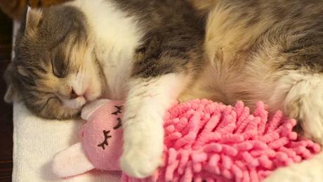 Diese Katze kann ohne ihr Kuscheltier nicht schlafen. Sie werden es niedlich finden.