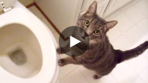 Diese Katze ist ein Fan von Toilettenspülungen.