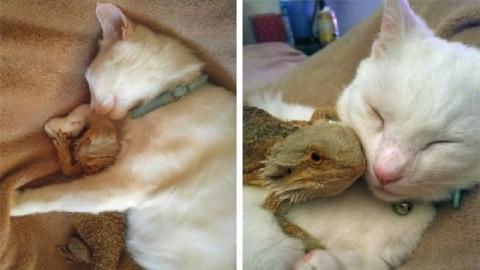 Diese Katze und die Bartagame sind die besten Freunde!