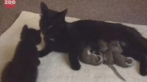 Diese Katze adoptiert kleine Eichhörnchen. Sie verhält sich ihnen gegenüber wie eine richtige Mutter.