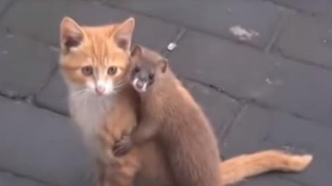 Eine erstaunliche Freundschaft zwischen einer Katze und einem Mauswiesel