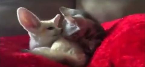 Das süße Aufwachen einer kleinen Katze und eines Wüstenfuchs... ihr werdet schmelzen!