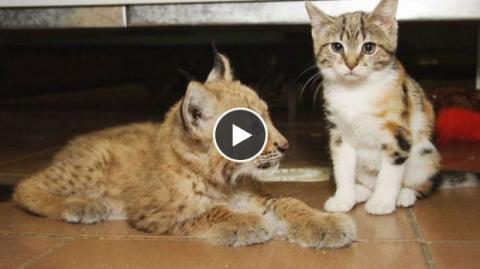 Diese kleine streunernde Katze hat sich verlaufen. Doch im Zoo hat sie einen sehr speziellen Freund gefunden!