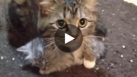 Eine Katze kümmert sich um ihr Katzenbaby.