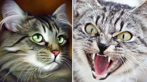 Beeinflusst das Fell einer Katze ihr Aggressivitätsniveau?