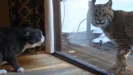 Wie reagiert eine Katze, wenn sie auf einen Luchs trifft?