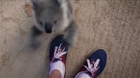 Dieses Koala-Baby möchte mit seinem Lieblingskameramann schmusen.