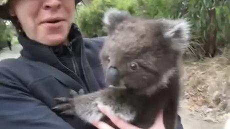 Ein Koala fordert Streicheleinheiten ein.