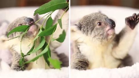 Ausdrucksvoll und allerliebst: ein zehn Monate alter Koala.