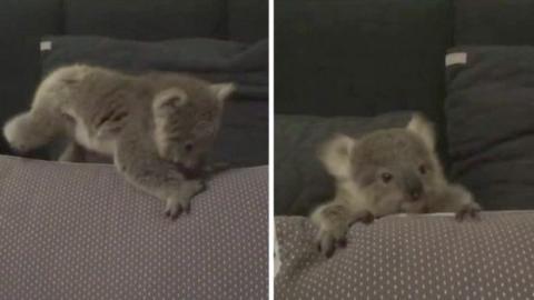 Dieses süße Koala-Baby macht seine ersten Schritte