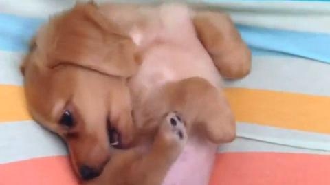 So süß, wie der kleine Hund versucht sich am Rücken zu kratzen