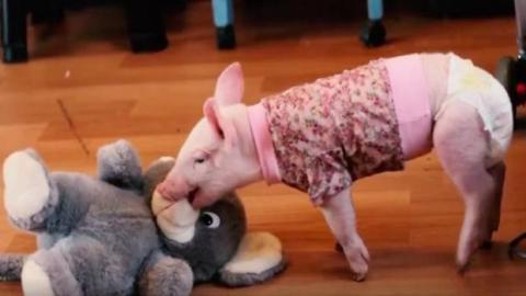 Dieses kleine, aus einer Schweinezucht gerettete Ferkel amüsiert sich zum ersten Mal