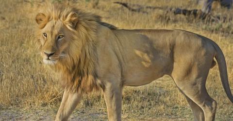 Ein Wilderer kommt in Südafrika einem Löwen zu nah