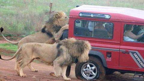 Tansania: Hungrige Löwen greifen Touristen an!