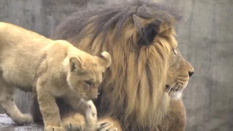 Diese jungen Löwen treffen zum ersten Mal ihren Vater. Ein erstaunlicher Moment.