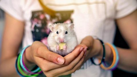 Dieser Hamster mag es nicht, wenn man ihn am Ohr anfasst. Seine Reaktion ist zu komisch!