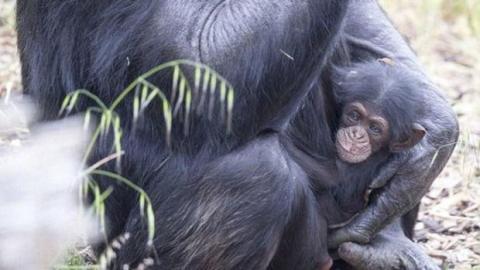 Trächtige Schimpansin adoptiert verwaistes Schimpansenbaby