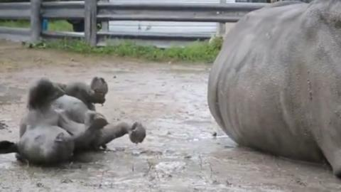 Dieses Baby-Nashorn macht seinem Papa alles nach