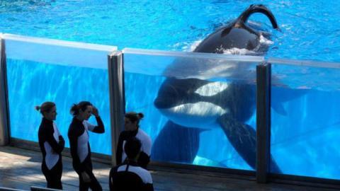 Mit seinen 103 Jahren könnte der Orka Granny die Kette SeaWorld bald sehr unter Druck setzen.