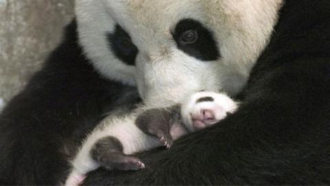 Ein Panda-Mutti sieht ihr Baby zum ersten Mal seit seiner Geburt.