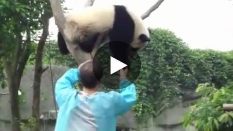 Dieser Panda möchte aus einem ganz bestimmten Grund von seinem Baum - Sie werden dahinschmelzen.
