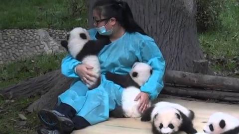 Diese Frau wird bezahlt, um Baby-Pandas zu knuddeln