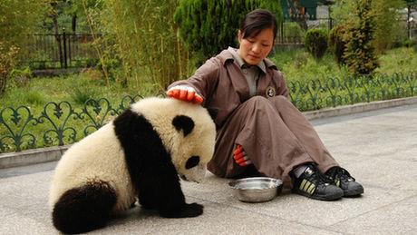 Diese Pandas wollen ihre Pflegerin nicht gehen lassen.