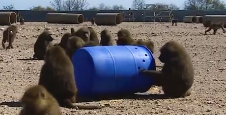 Paviane wollen aus Labor fliehen und sind mit allen Wassern gewaschen!