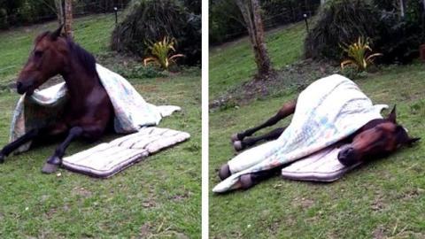 Das lustige Ritual eines Pferdes vor dem Schlafen.