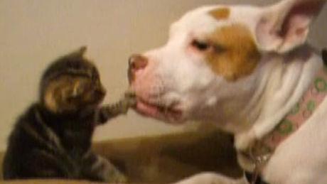 Ein Pitbull kümmert sich um eine Katze.