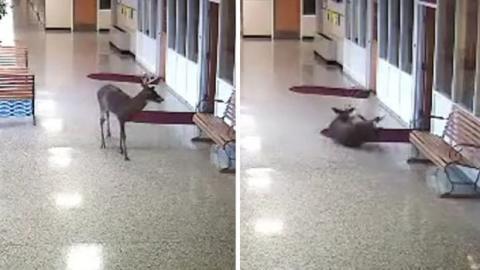 So was von rutschig! In Schule verirrtes Reh tut sich mit heimtückisch rutschigem Boden schwer.