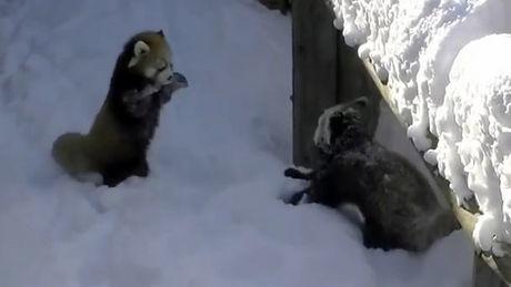 Diese roten Pandas toben im Schnee. Zum Dahinschmelzen.