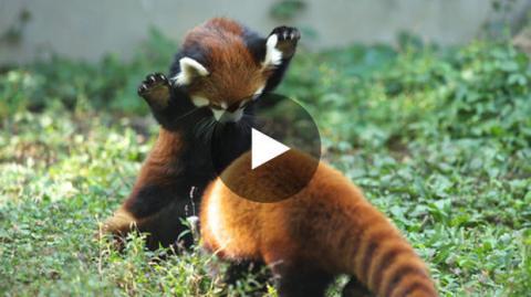 Die süßeste Panda-Attacke schlechthin.