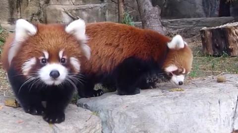 Die Reaktion dieses Roten Pandas ist einfach niedlich, als ihm klar wird, dass er gefilmt wird!