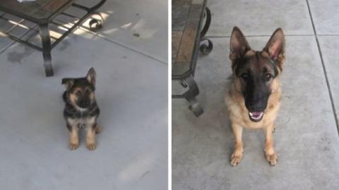 Ein Jahr lang hat das Herrchen dieses deutschen Schäferhundes jeden Tag ein Foto von ihm gemacht. Das Ergebnis ist einfach nur toll!