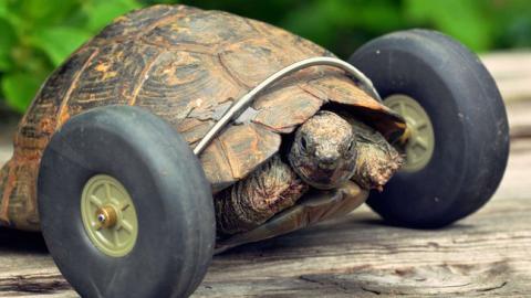 Eine Schildkröte lebt dank Rädern, die ihre Vorderbeine ersetzen weiter