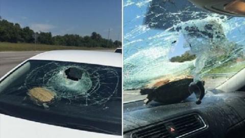 Eine Schildkröte landet auf einer Windschutzscheibe... und überlebt den Unfall!