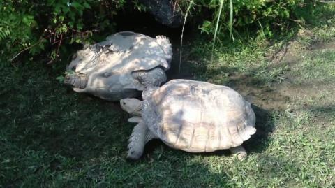Hier hilft eine Schildkröte der anderen wieder auf die Beine
