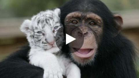 Die bewegende Reaktion eines Schimpansen gegenüber Tiger- und Wolfjungen.