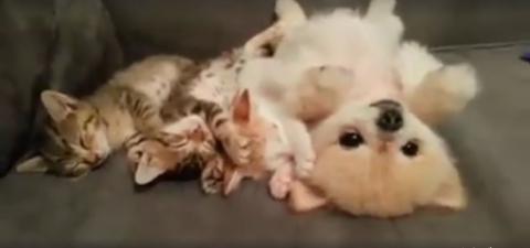 Drei Kätzchen und ein kleiner Hund halten kuschelnd Mittagsschlaf