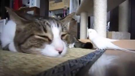 Dieser Sittich entschied sich, mit dieser Katze zu spielen. Diese Freundschaft wird Sie überraschen.